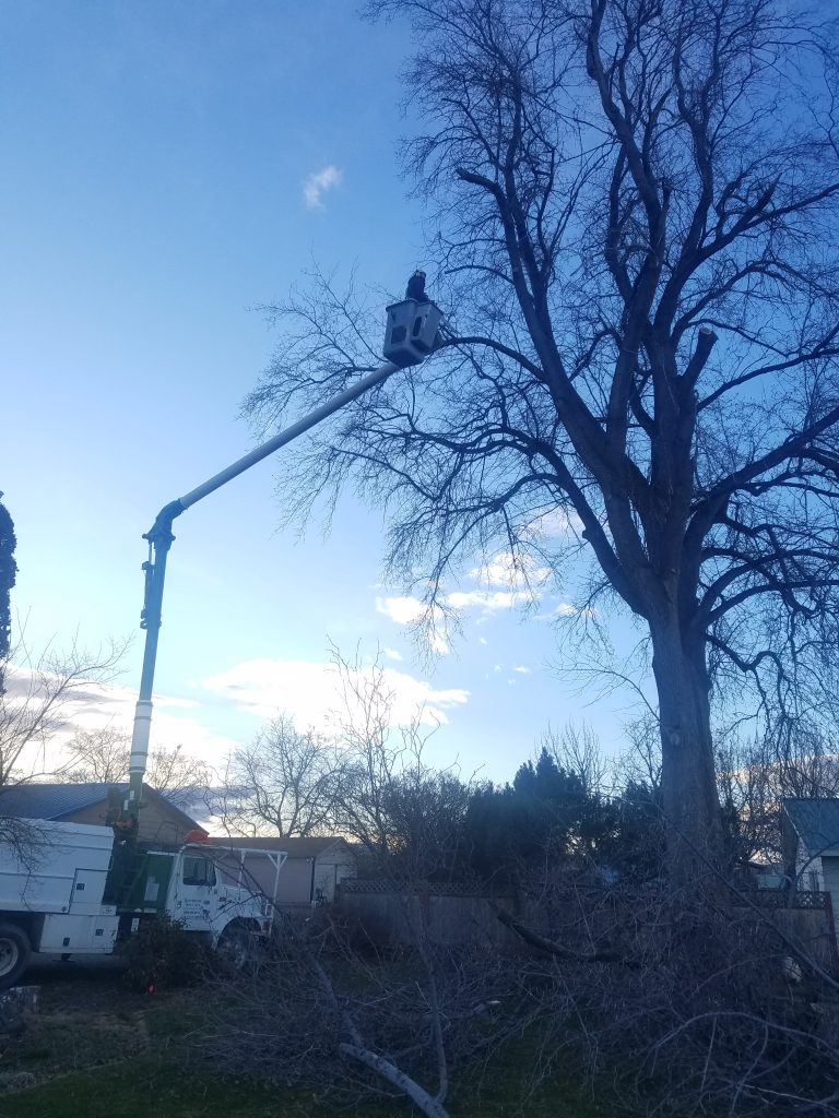 Dead branch removal and pruning or old tree